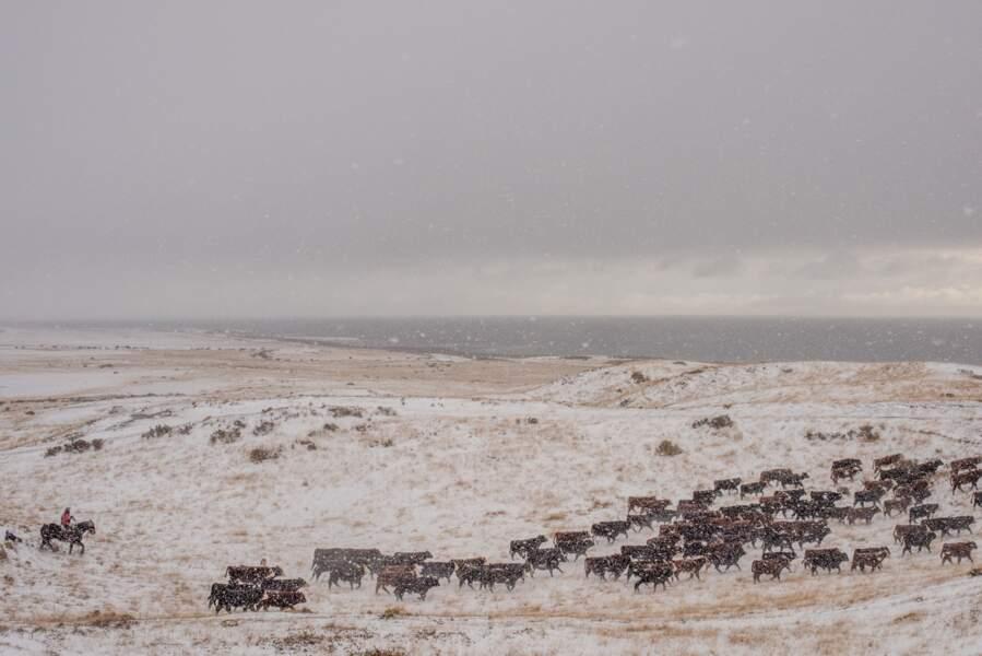 Des troupeaux de moutons, mais aussi de vaches