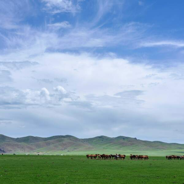 Chevaux dans la vallée de l'Orkhon
