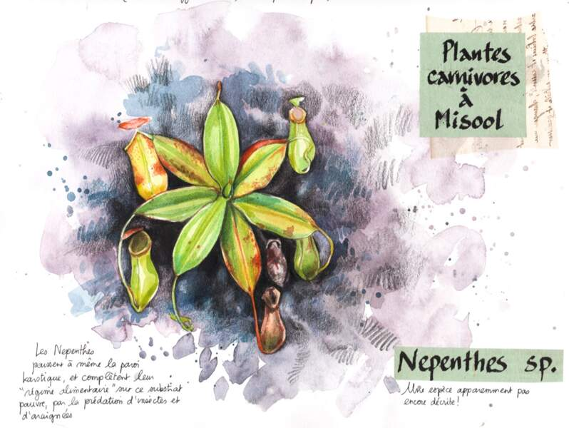 Plantes carnivores (Nepenthes)
