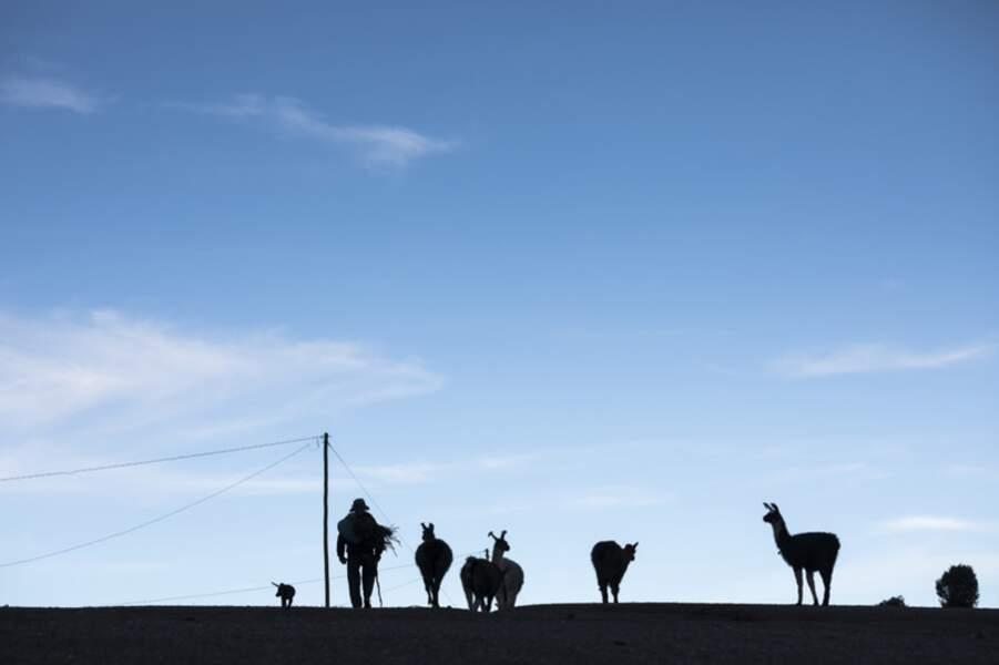 Des lamas dans le voisinage