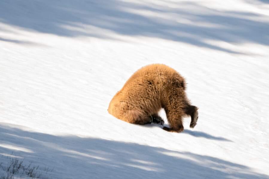 Quand un ours noir fait l'autruche... Parc national de Yellowstone, Etats-Unis
