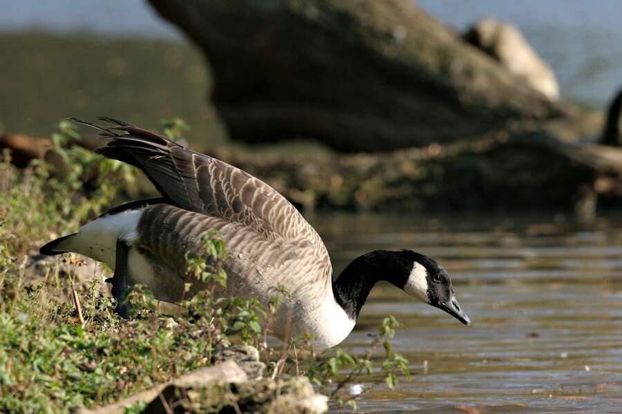 La bernache du Canada, l'oie noire qui règne sur les étangs yvelinois