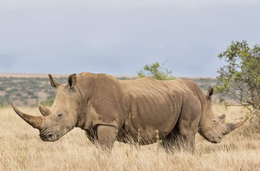 """Rhinocéros """"deux en un"""" à Laikipia, au Kenya"""