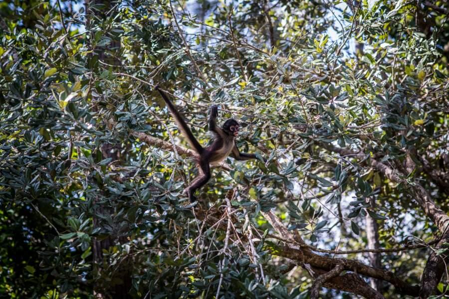 Sous le charme des singes araignées