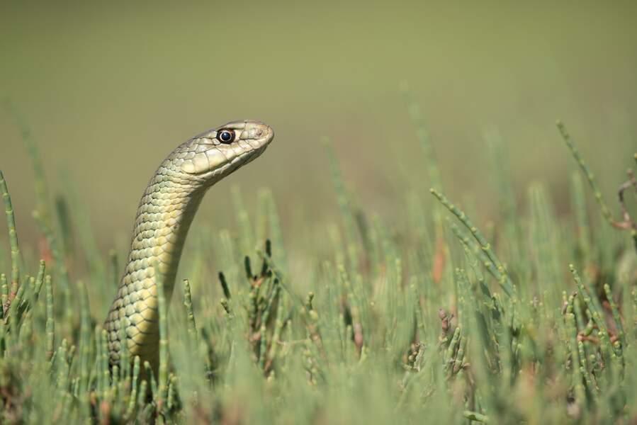 Que voient les serpents ? - Couleuvre de Montpellier