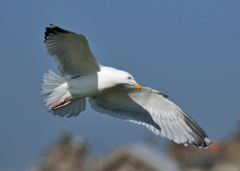 Le goéland argenté, un oiseau marin sur les toits de la capitale