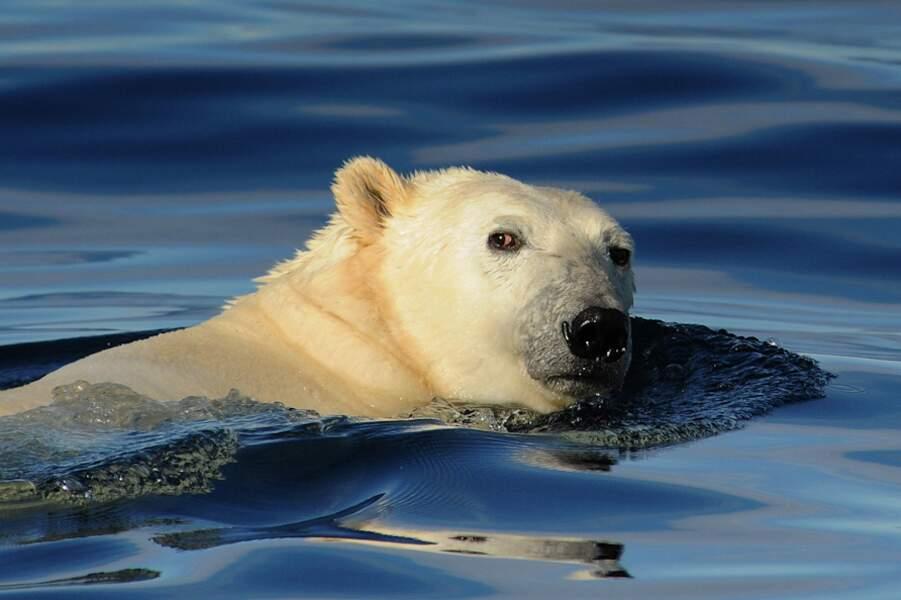 Ours polaire dans la mer de Baffin - Arctique
