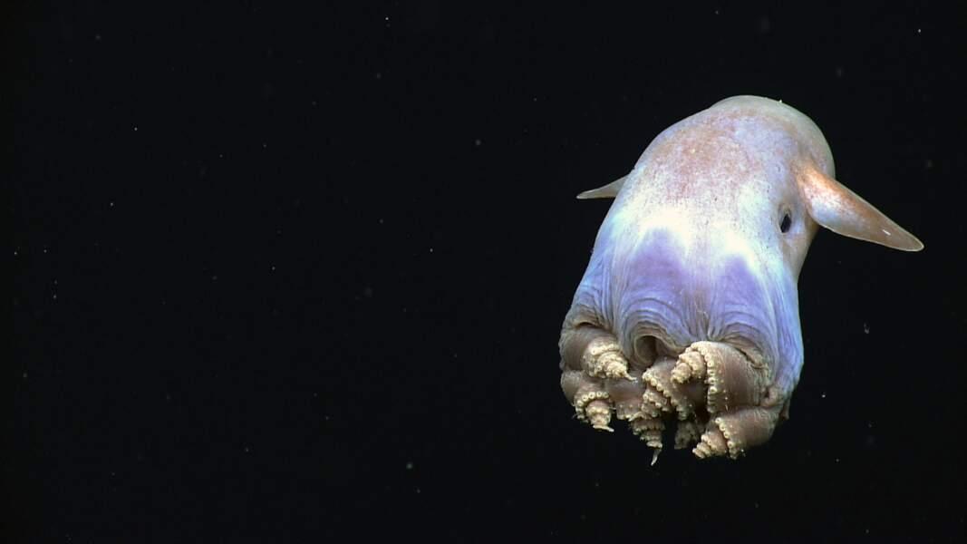 Pieuvre dumbo dans le golfe du Mexique