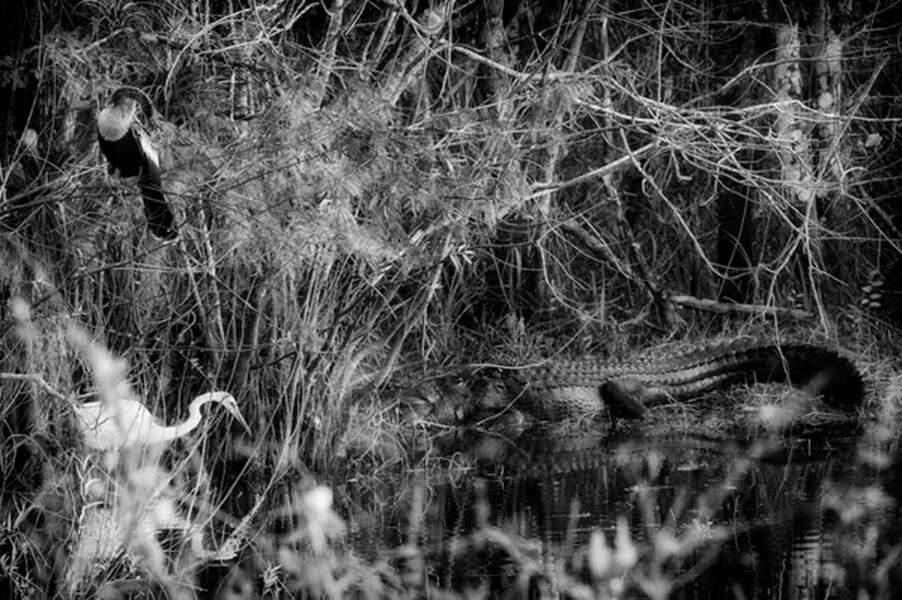 La mangrove abrite 350 espèces d'oiseaux