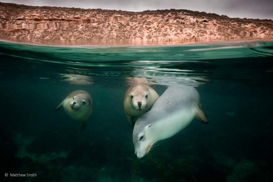 Portrait d'une famille de lions de mer australiens