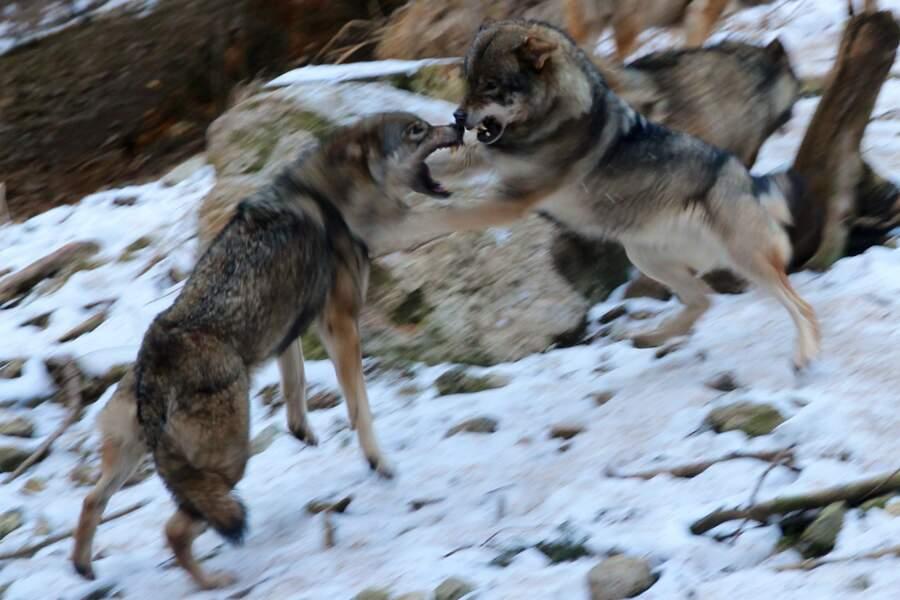 Loups au combat, dans les Alpes en France par Elisabeth Le Heiget / Communauté GEO