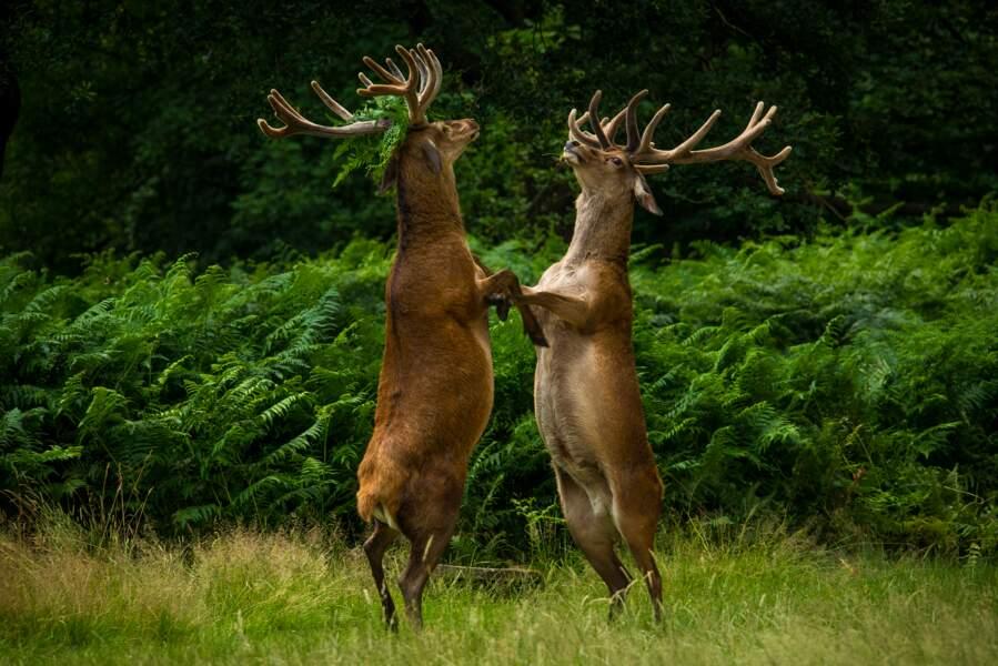 Danse avec les cerfs, Richmond Park, Londres, Royaume-Uni