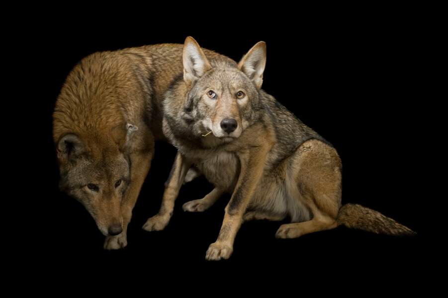 Loups rouges, Dakota du Sud