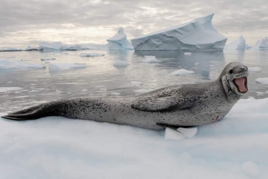 Léopard de mer à Port Charcot - Antarctique