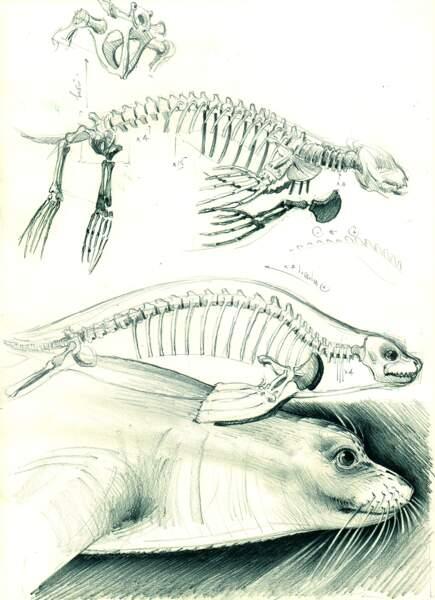 Etude de l'anatomie du phoque moine