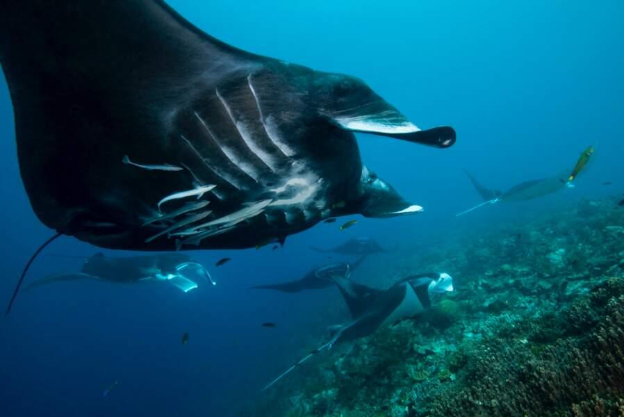 Raie manta de récif (Manta alfredi), Raja Ampat, Indonésie