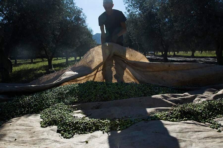 Culture bio... On ne refuse rien à l'olive salonenque