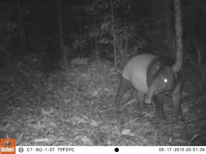 Un tapir de Malaisie pris en photo en Indonésie
