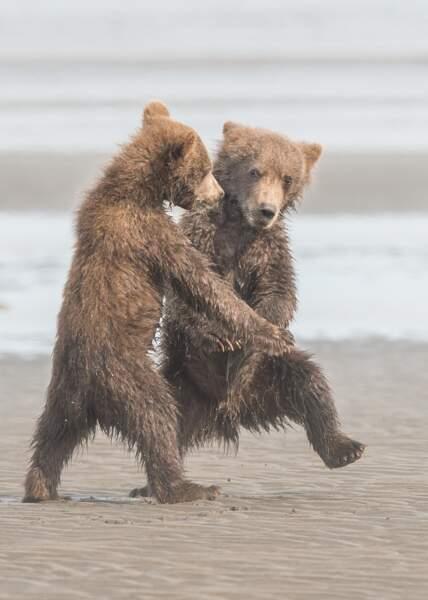 Petits petits ours bruns (sont des gentils galopins), Alaska, Etats-Unis
