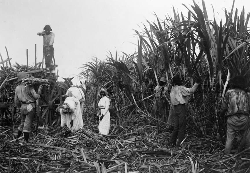 Au tournant du XXe siècle, l'or vert des colonies connaît une crise majeure