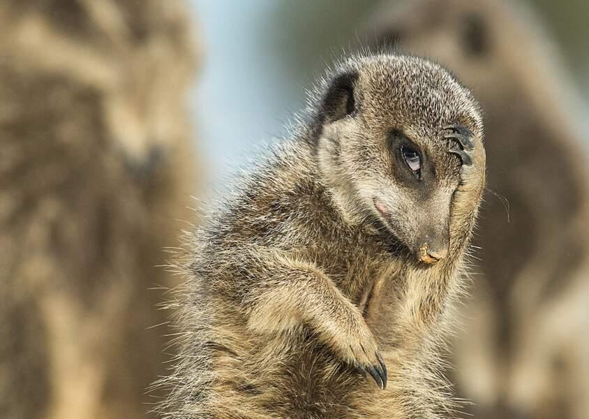Quand le suricate du désert du Petit Karoo (Afrique du Sud) se dit qu'il n'aurait jamais dû gober tant d'insectes