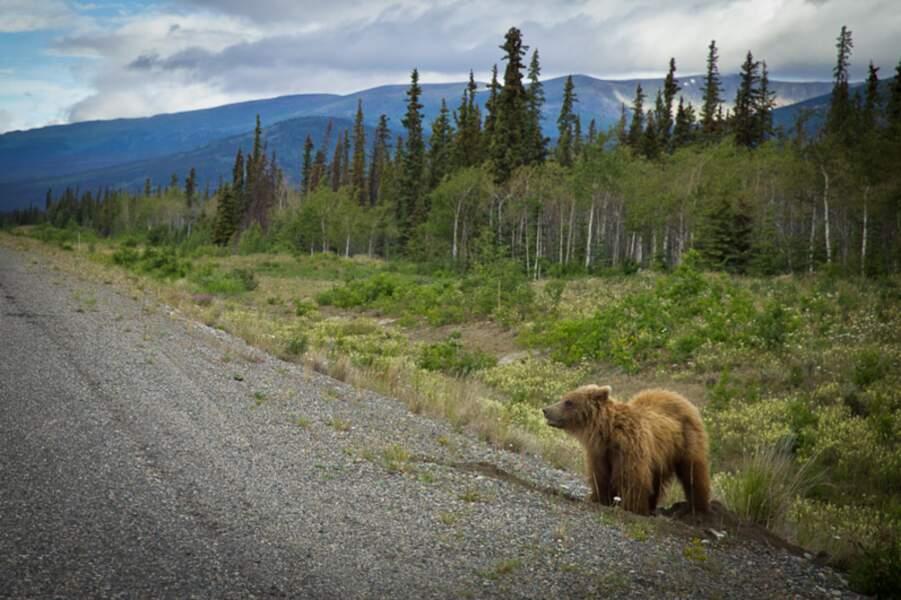 Canada - Roadtrip au Yukon et rencontre avec un grizzli