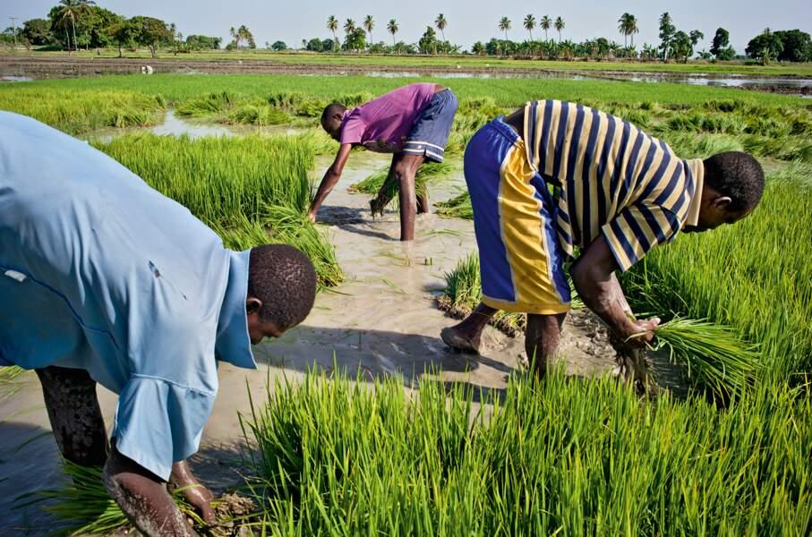 Riziculture, une filière effondrée