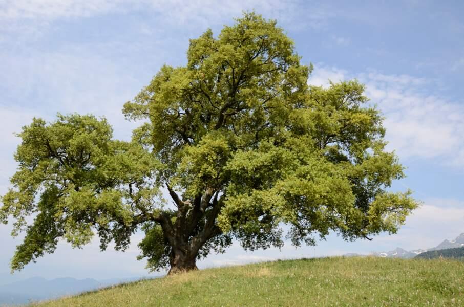 Le chêne de Venon, un arbre perché