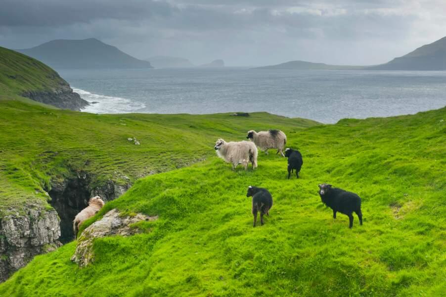 Des moutons en liberté