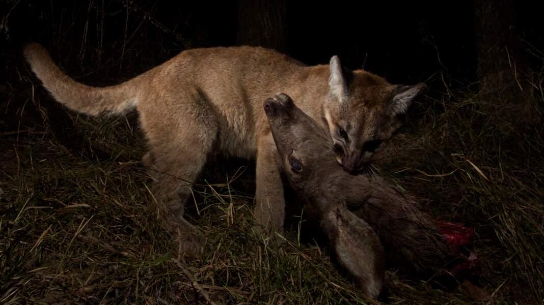 Un puma mangeant un cerf hémione