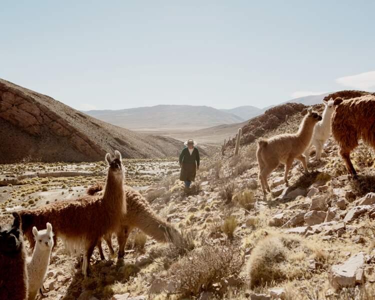 Les lamas ont la belle vie