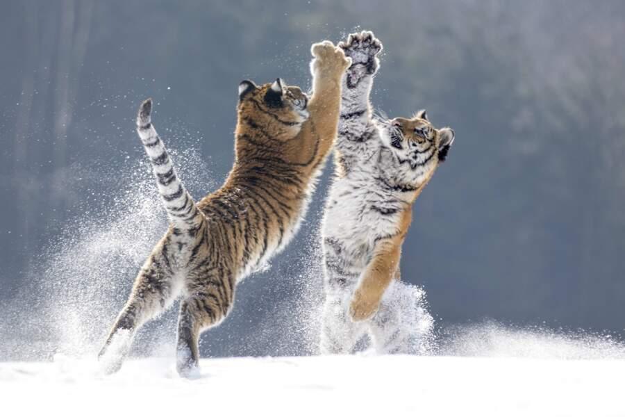 Combat de tigres de Sibériedans la commune tchèque deHlinsko