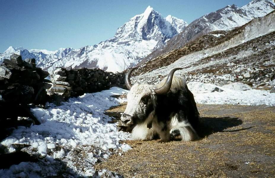 Yak au Népal, par Daniel Biays / Communauté GEO