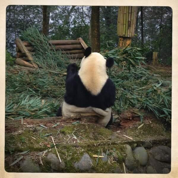 Vrai panda