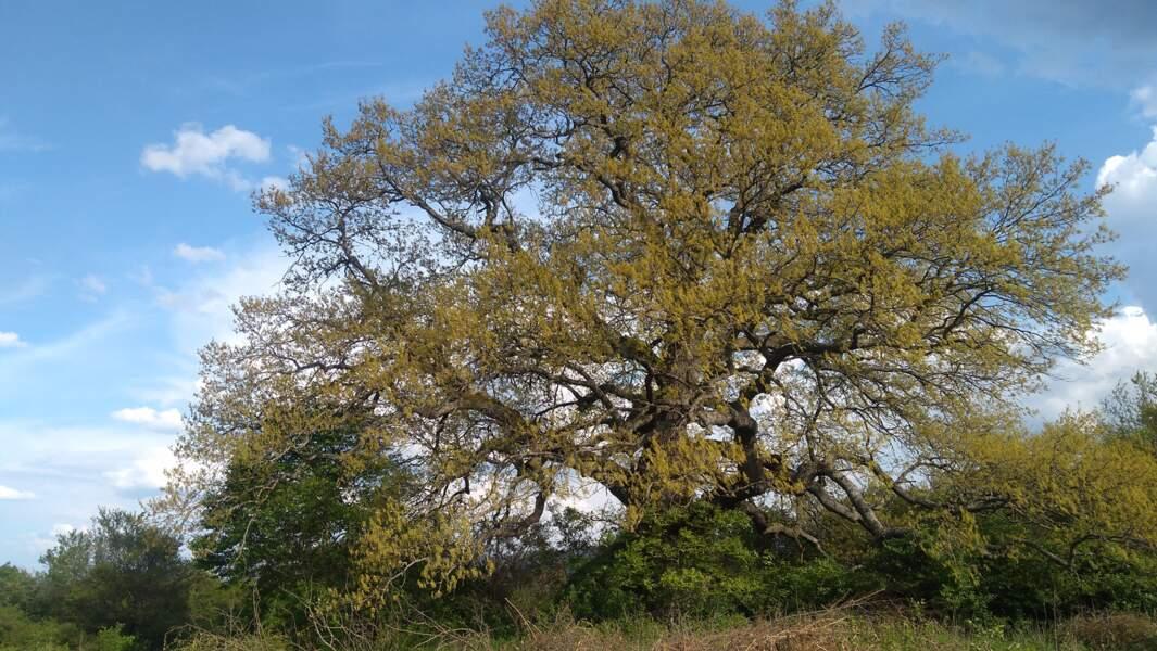 Bulgarie : le vénérable chêne lombard près du village de Rani Lug