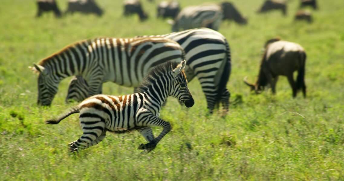 Zèbres des Plaines / Parc national du Serengeti, Tanzanie