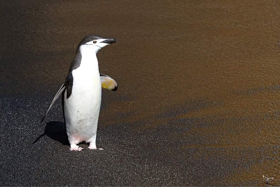 Manchot à Baily Head - Antarctique