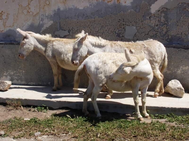 Asinara, le refuge des ânes blancs
