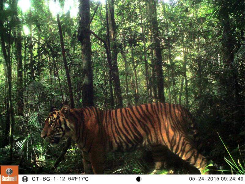 Un majestueux tigre de Sumatra