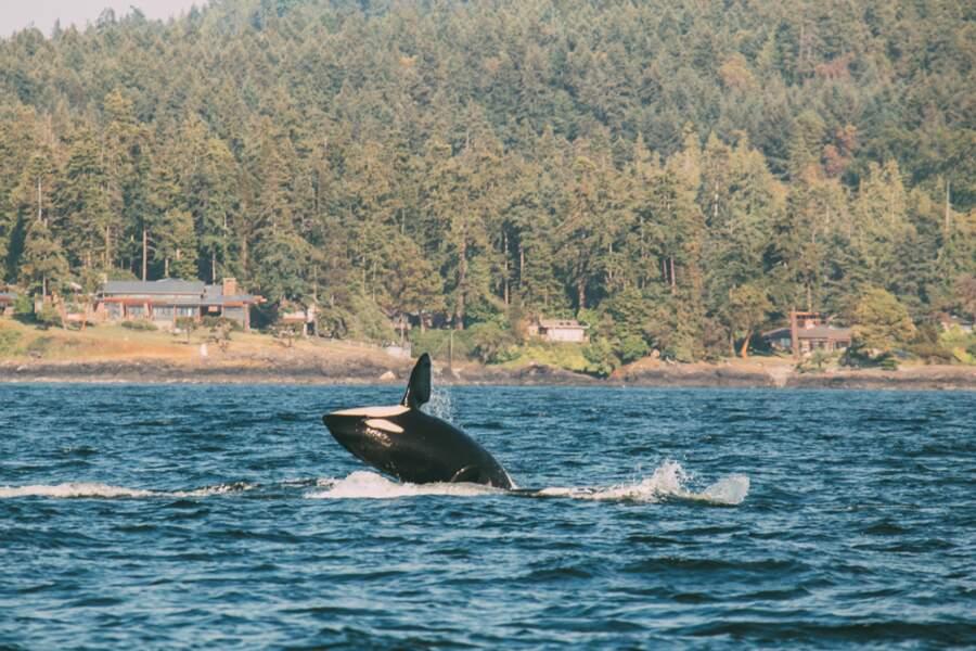 Etats-Unis - Voir les orques à San Juan Island