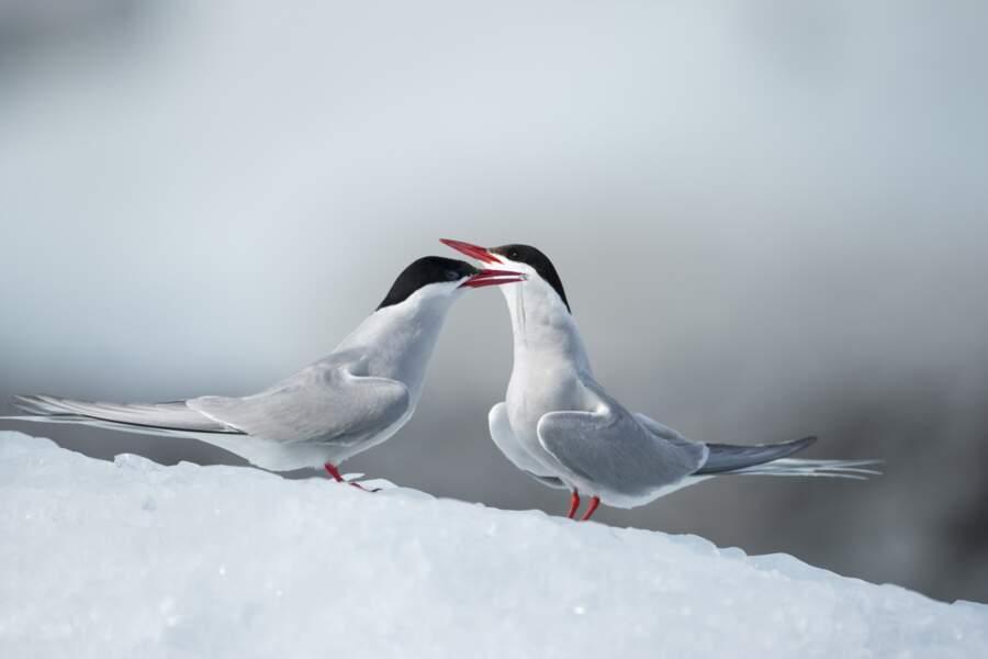 Les sternes arctiques
