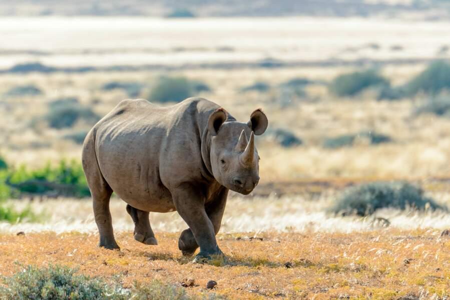 A la recherche du rhinocéros perdu