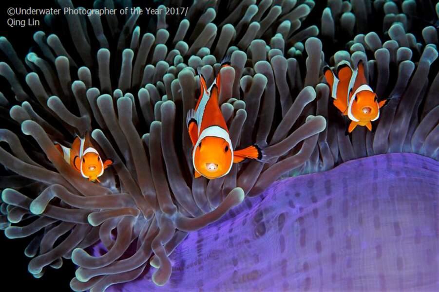Anémone et poissons clowns
