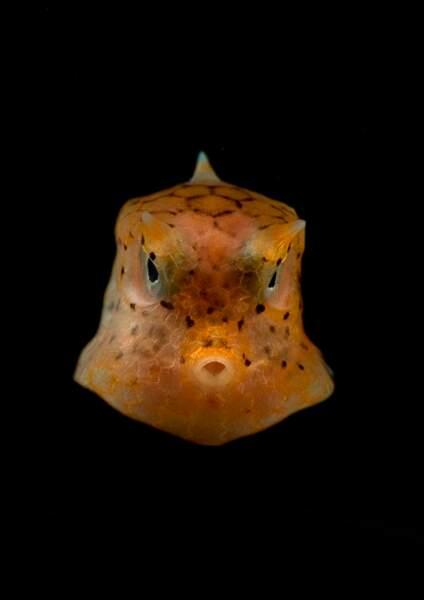 Poisson-coffre de la mer de Célèbes