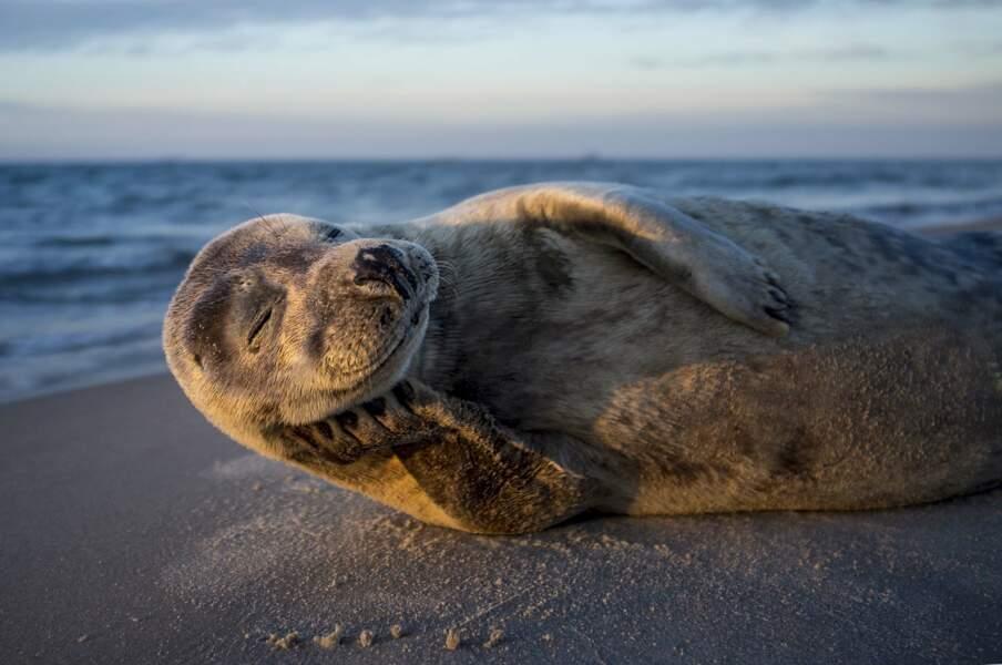 Joyeux phoque de Skagen, au Danemark