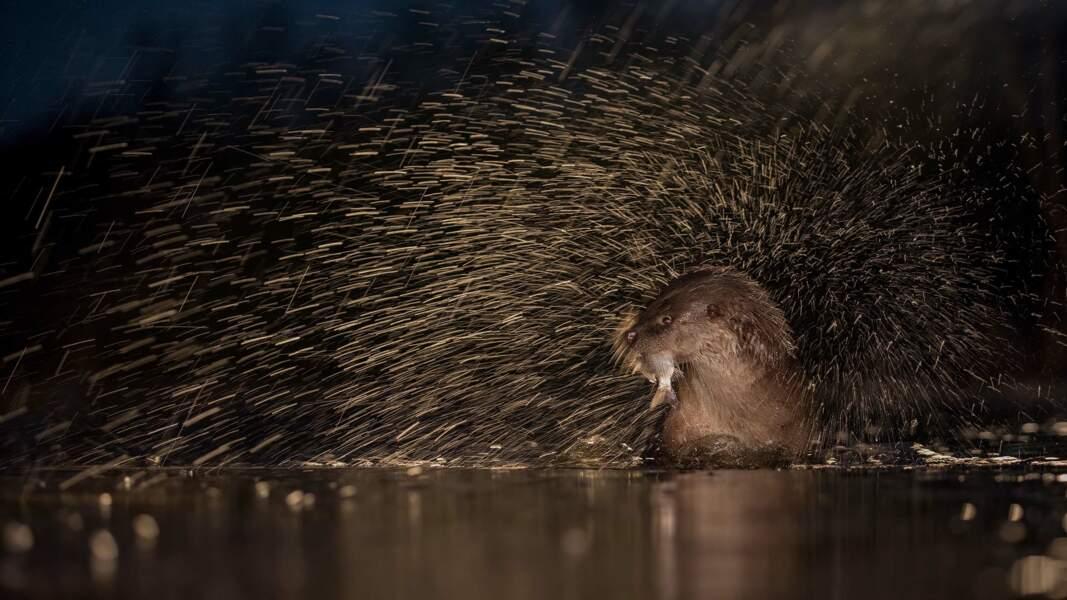 Parc national de Kiskunság, Hongrie : après une chasse réussie, la loutre s'ébroue vigoureusement