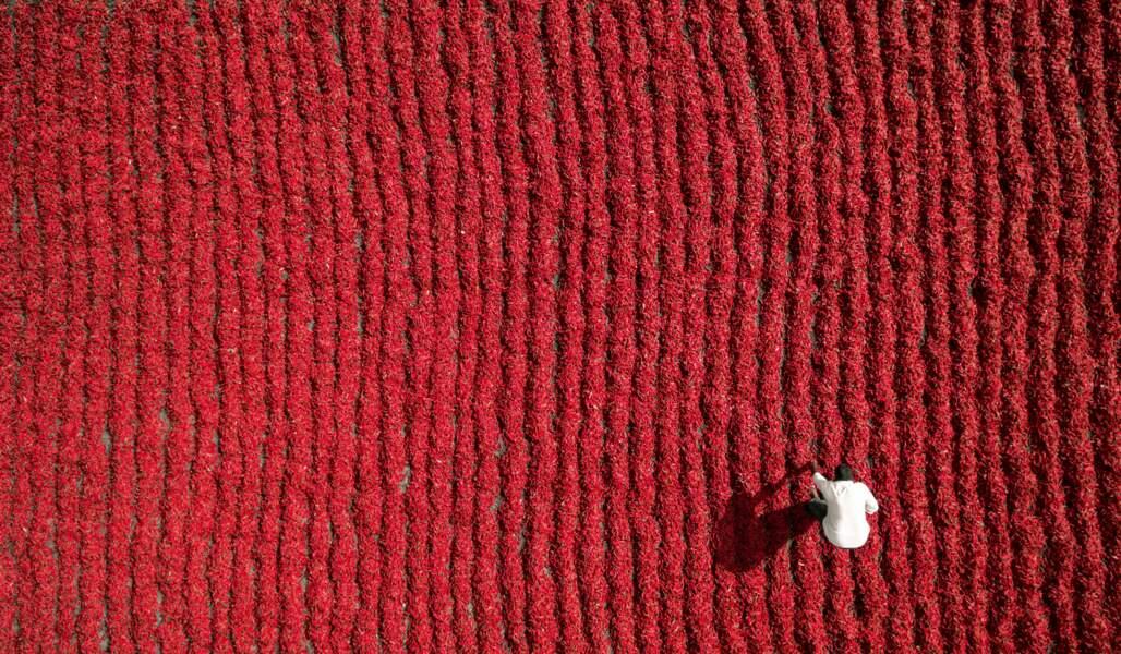 Un paysan dans son champ de piments rouges à Guntur, en Inde