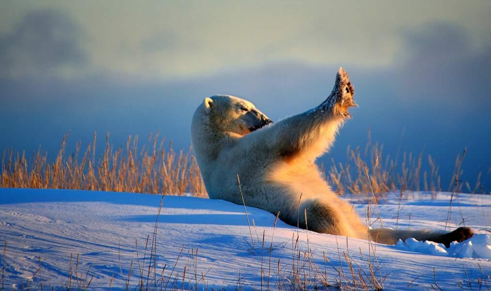Salut à toi, l'ours polaire !