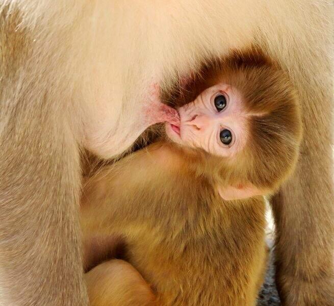 Bébé macaque en Inde