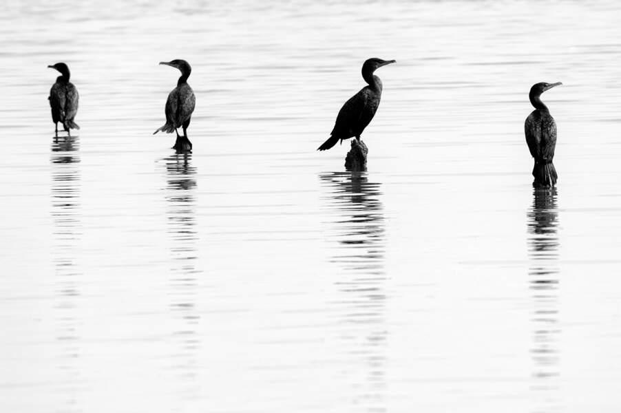 Le cormoran à aigrettes